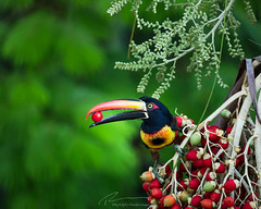 Fiery-billed Aracari eating a palm fruit