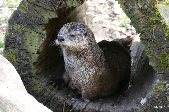 13-Otter