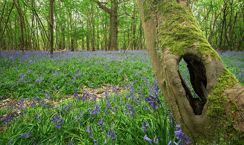 bluebell bluebells forest landscape helicon focus pro