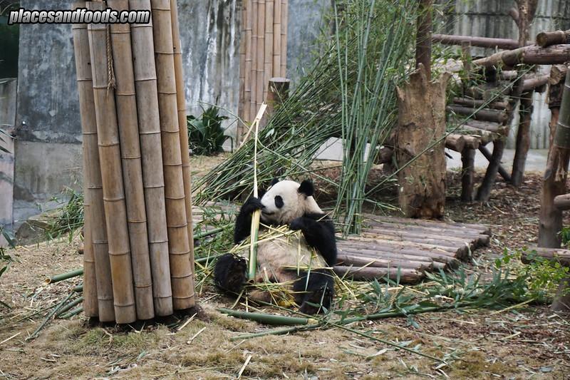 china chengdu panda research
