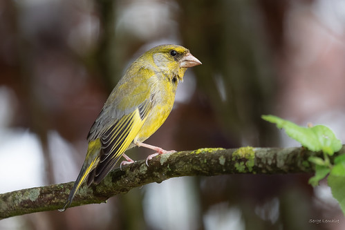 Verdier d'Europe / European greenfinch. | by Serge Lemaire