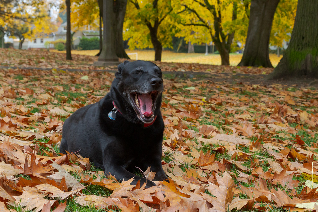 Our dog Ellie yawns while sitting in the fallen leaves at the dog park at Irving Park in the Irvington neighborhood of Portland, Oregon