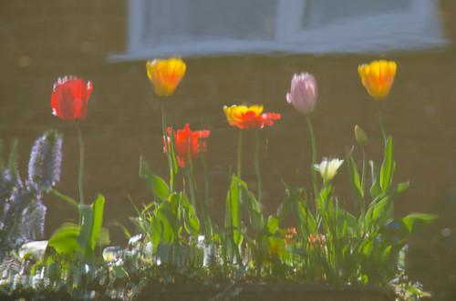 Tulips, Castlecroft