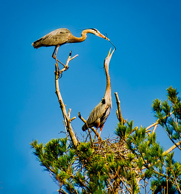 Another Stick For My Lady:  Great Blue Herons