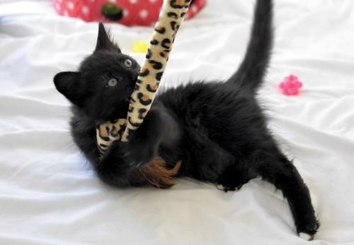 Yoel, gatito monisimo pelo semilargo negro esterilizado, nacido en Febrero´19, en adopción. Valencia. 32779299527_6c701908dd