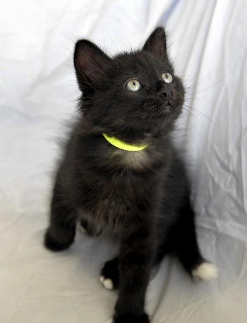 Yoel, gatito monisimo pelo semilargo negro esterilizado, nacido en Febrero´19, en adopción. Valencia. 32779300037_b0c4d132ff_z