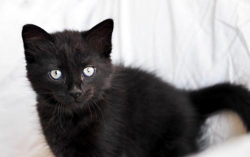 Yoel, gatito monisimo pelo semilargo negro esterilizado, nacido en Febrero´19, en adopción. Valencia. 32779300327_b12f35d2ac