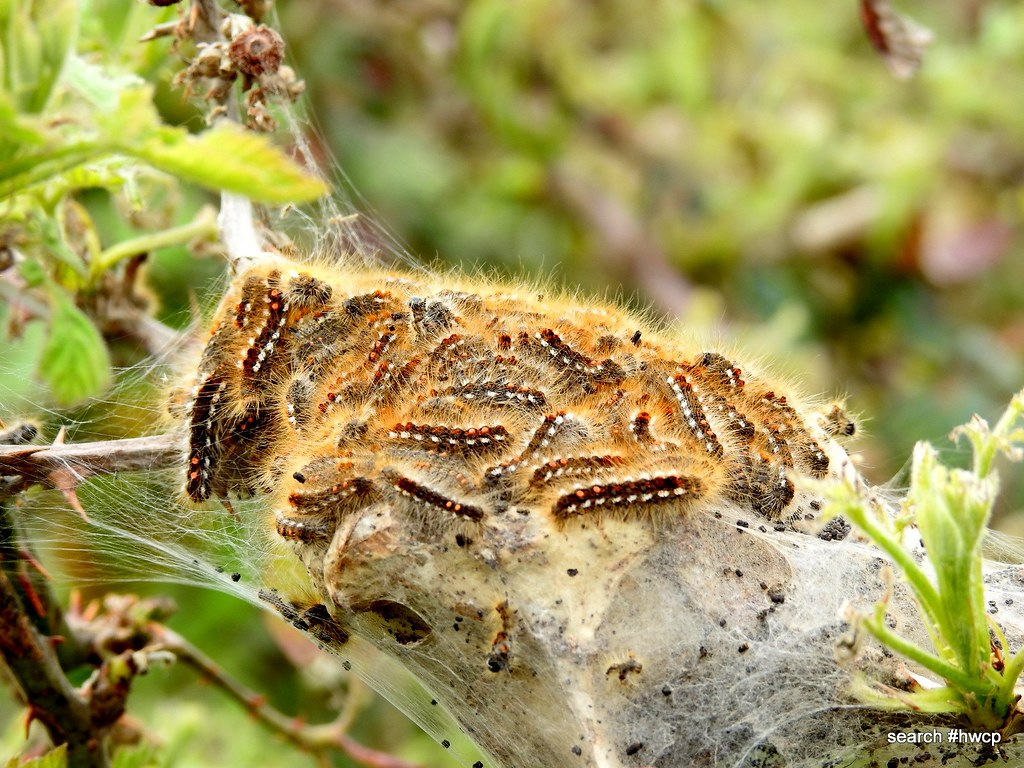 Brown Tail Moth Is An Insect Native To The Uk That Has Hai