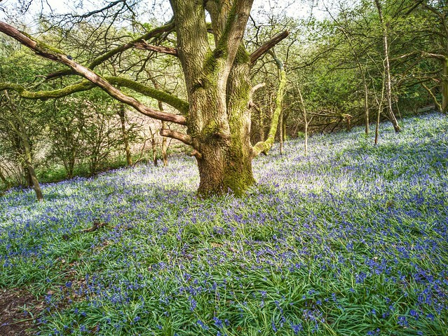 Annual shot of big old tree surrounded by bluebells.