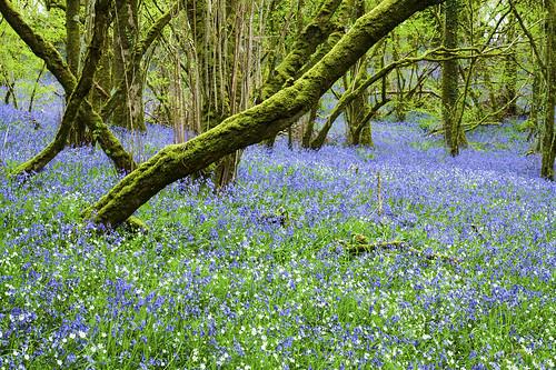 bluebells bluebell springtime forest trees woodland dartmoor nationalpark okehampton meldon bluebellseason canoneos50d tamron1750mm nature outdoors outandabout moss atmospheric magical devon uk wildflowers flowers inbloom