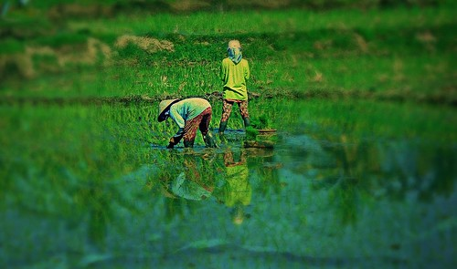 INDONESIEN, Bali - vorbei an Reisfeldern,  18147/11419