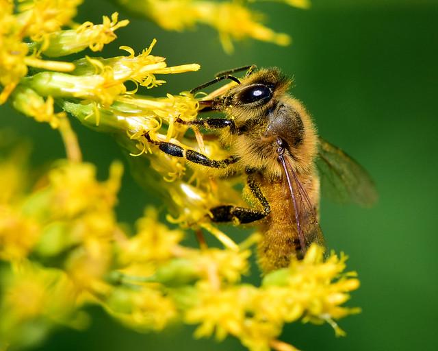 DSC_1733=Honeybee