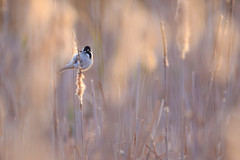 Reed Bunting - Rohrammer