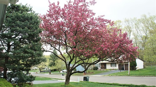 At Home 2019: Japanese Flowering Cherry
