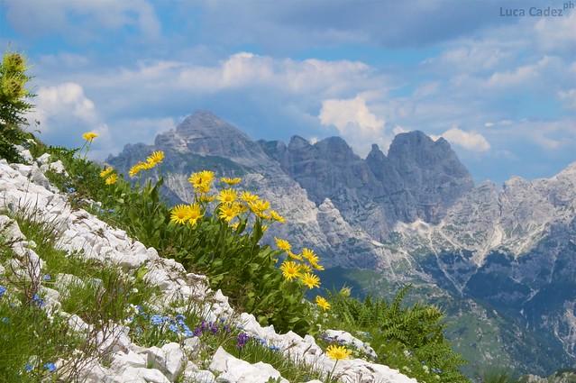 Doronicum glaciale sul monte Canin