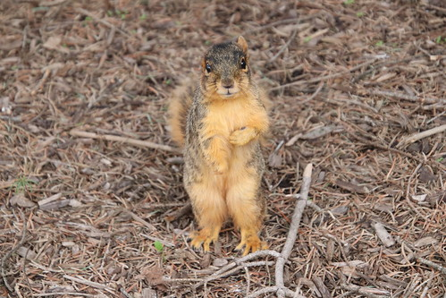 322/365/3974 (April 29, 2019) - Fox Squirrels on a Spring Day at the University of Michigan - April 29th, 2019