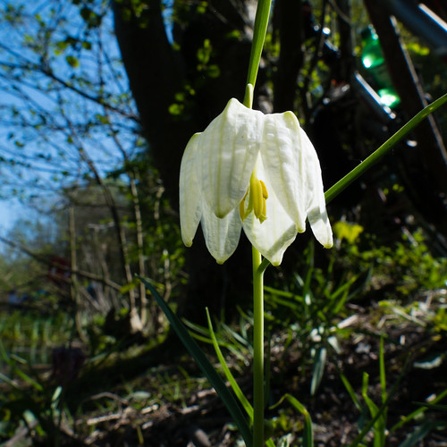White-flowered snake's head fritillary, Bag's Pool