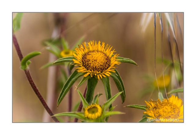 Flores silvestres de primavera // Wild spring flowers