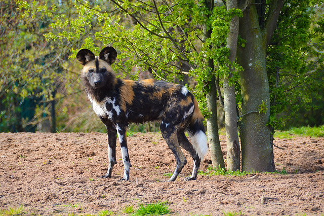African Painted Dog (Lycaon pictus)