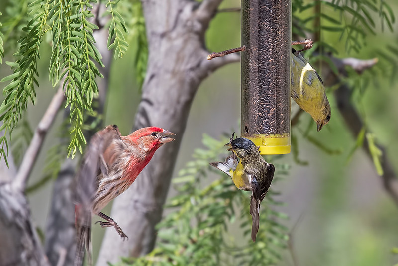 Finches-17-7D2-042519