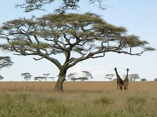 Tanzanie (Serengeti)