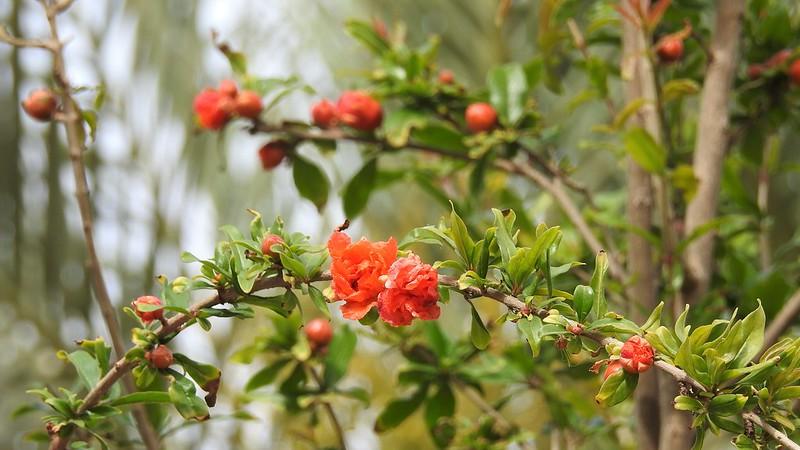 Гранатовое дерево (Punica)