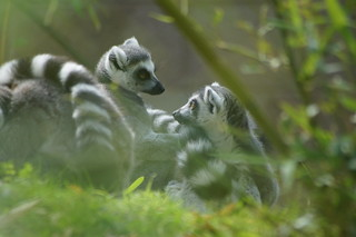 Ring-Tailed Lemurs DSC05784