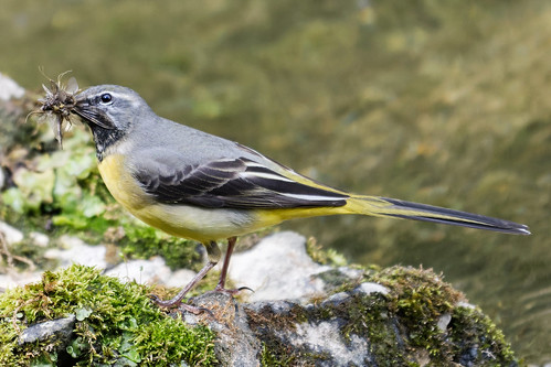 Grey Wagtail 08 Derbyshire 30-04-2019 Ian W | by bo_nzo