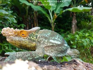 Orange-eyed Parson's chameleon (Calumma parsonii parsonii) - 20190501