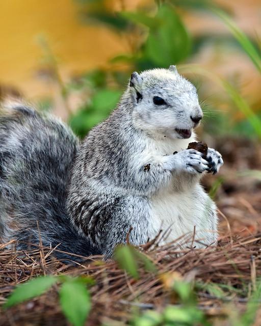DSC_0186=Fox Squirrel