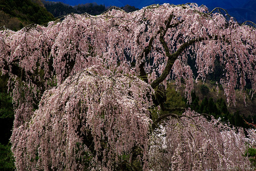 The weeping cherry tree of the Benten
