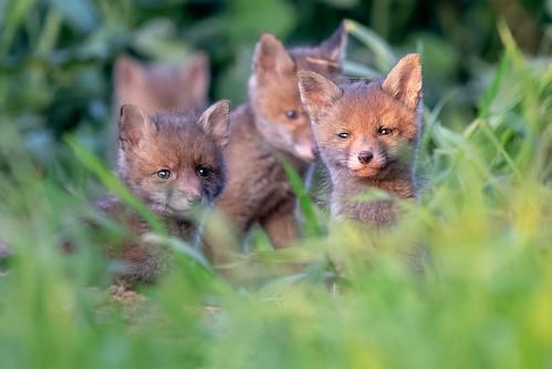 Renardeaux (Vulpes Vulpes) Red Fox