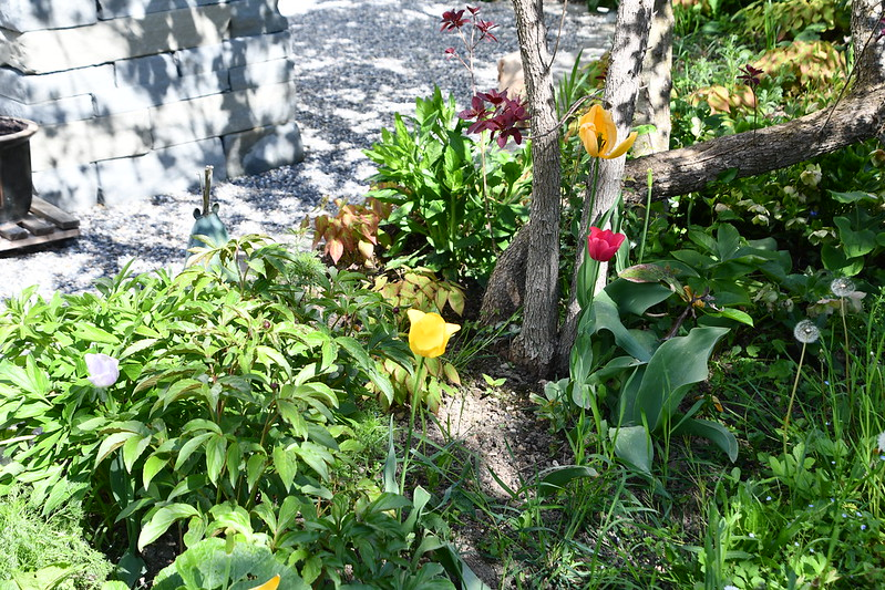 Tulips Back Garden 01.05.2019