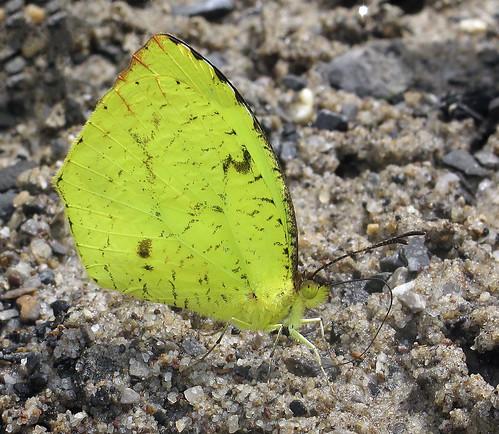 Eurema salome