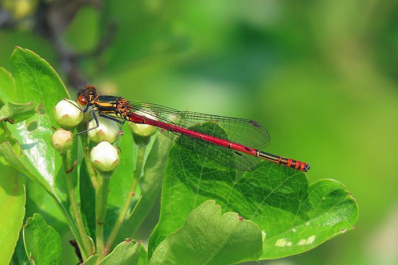 Large Red Damselfly - Pyrrhosoma nymphula