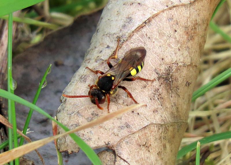 Marsham's Nomad Bee - Nomada marshamella