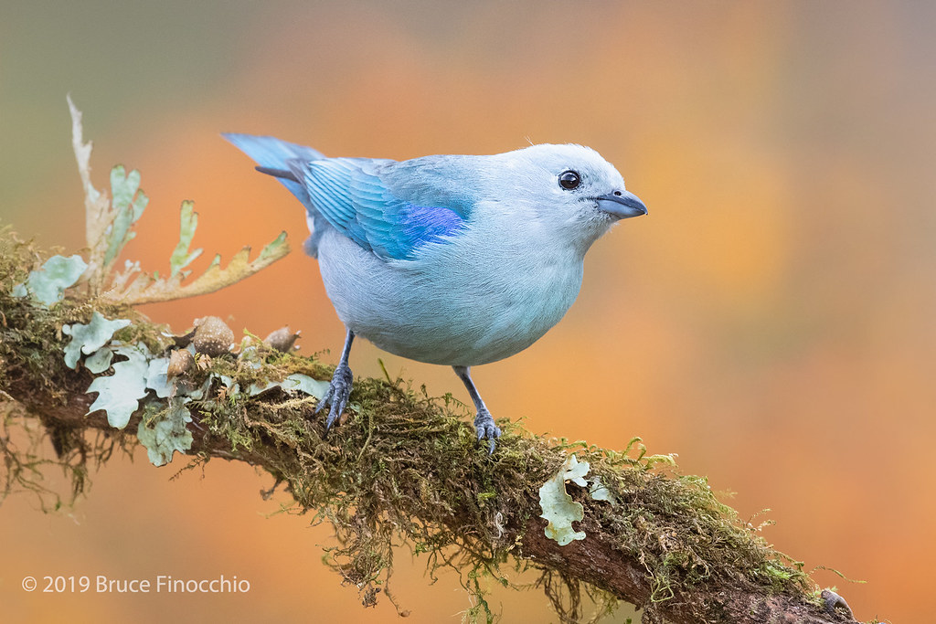 Blue-gray Tanager Perched On An Epiphyte Covered Branch