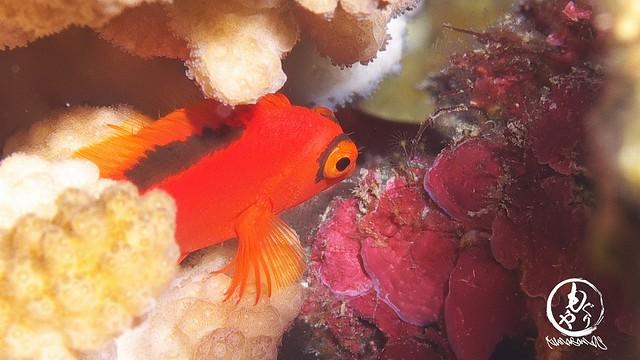 ベニゴンベ幼魚ちゃん♪