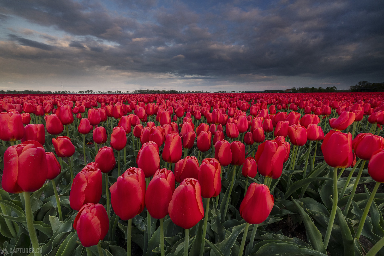 Evening light over the tulip field - Emmeloord
