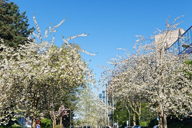 sakura - prunus serrulata