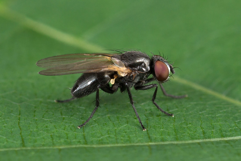 Diptera Info Discussion Forum Small Black Fly Fannia Sp Female