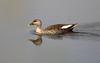 Indian Spot-billed Duck by vischerferry