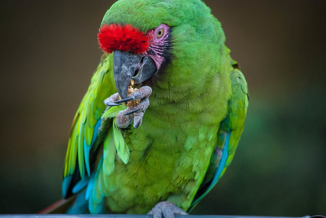 Macaw Snacks