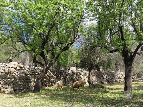 Schafe unter Olivenbäumen