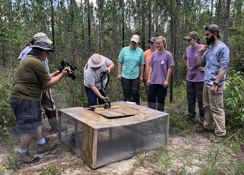 APT films Auburn students looking on as researchers remove a threatened Eastern indigo snake from a trap.