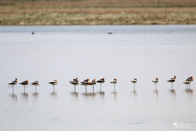 IMG_9443AmericanAvocets