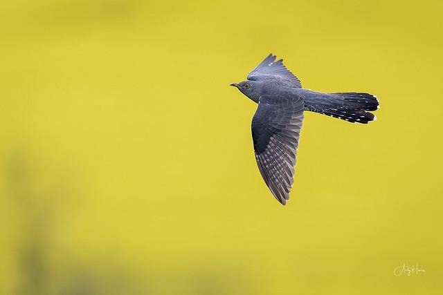 Cuckoo flies above fields of Gold
