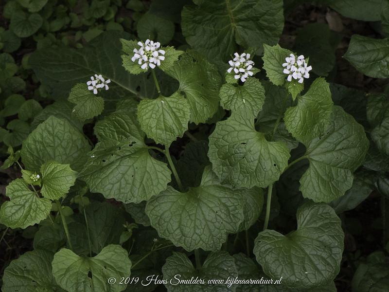 Look-zonder-look (Alliaria petiolata)-619_1712