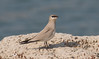Small Pratincole by vischerferry