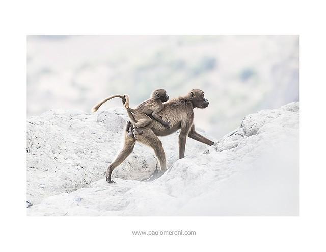 Gelada Baboon - www.paolomeroni.com